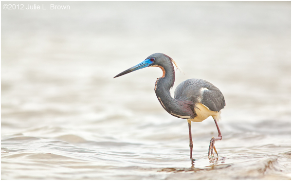 tricolored heron breeding adult panama city