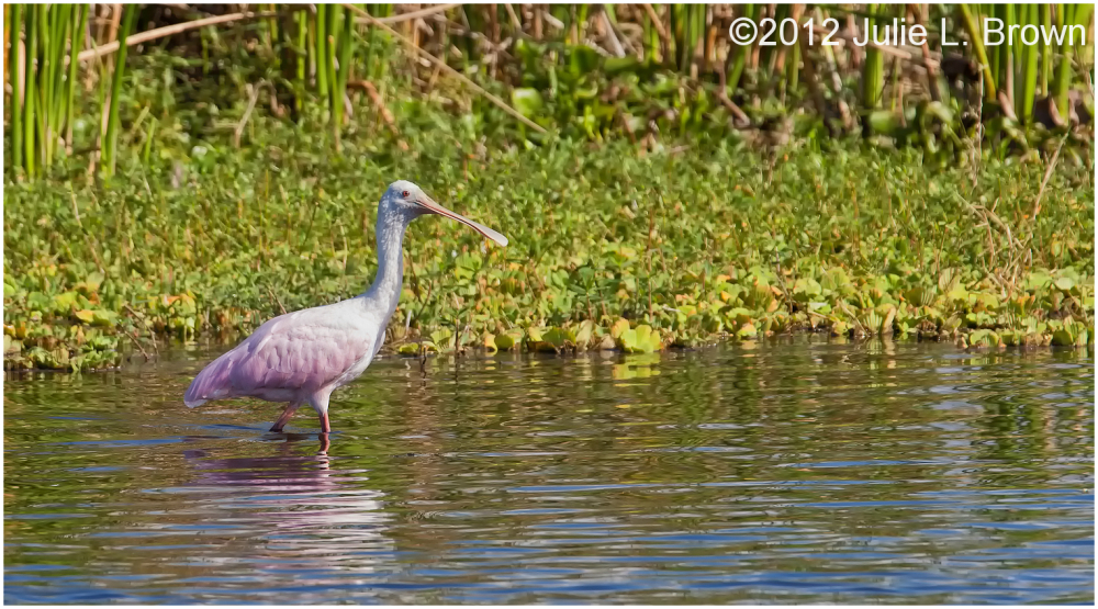 roseate spoonbill juvenile STA 5 Hendry County