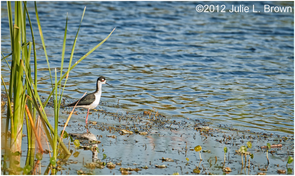 black-necked stilt STA 5 hendry county florida