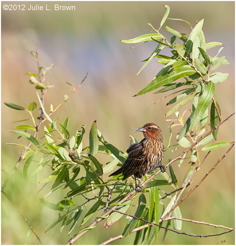 red-winged blackbird female STA5 hendry county