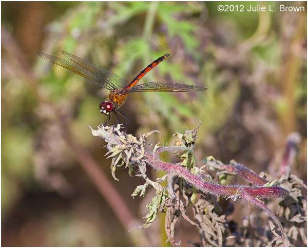 red dragonfly hendry county florida