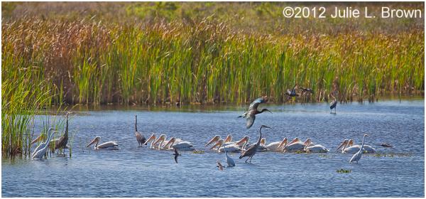 american white pelican birdscape STA5