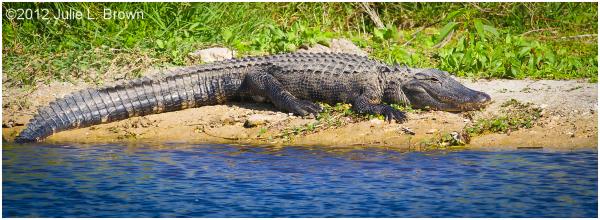american alligator basking STA5 hendry county