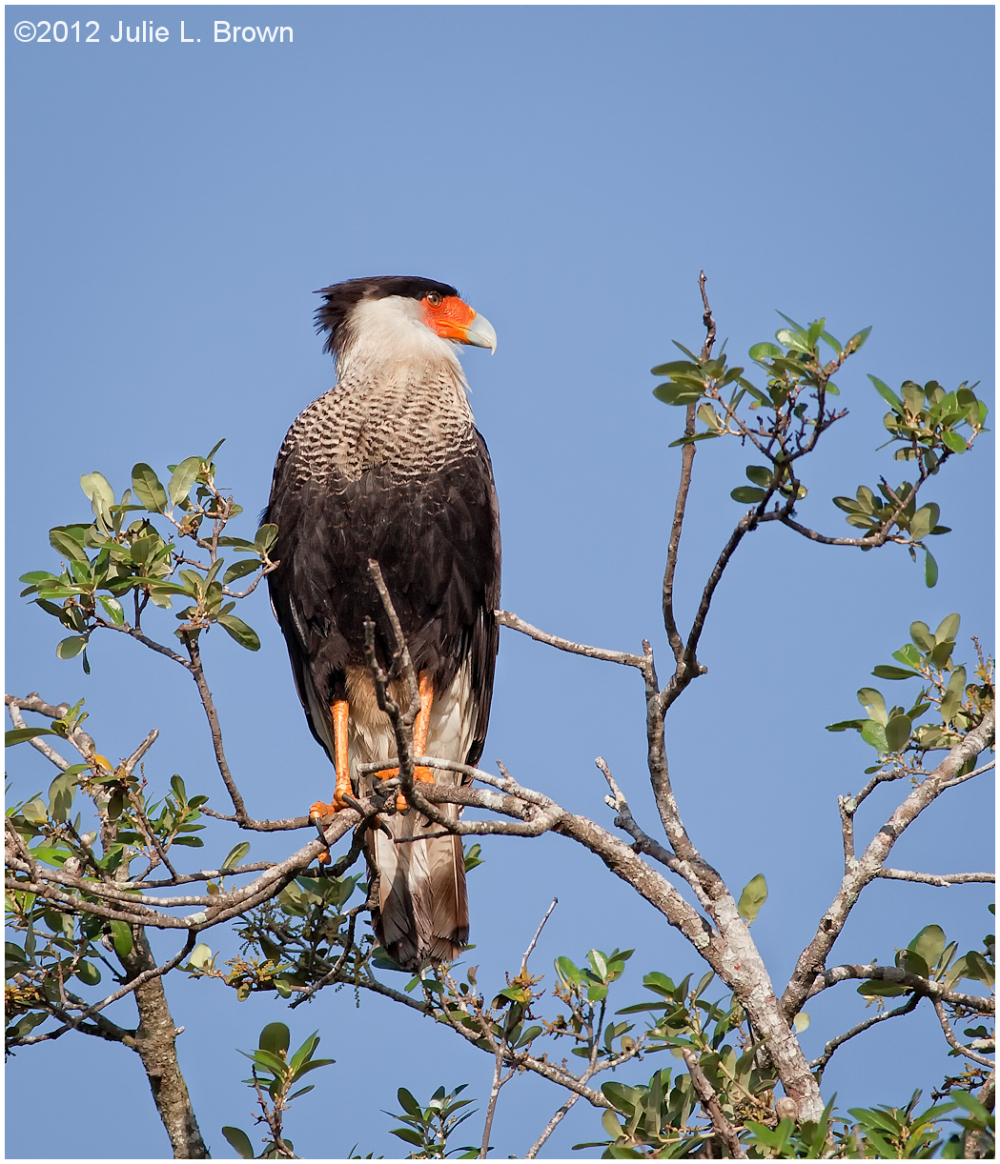 crested caracara dinner island wildlife management