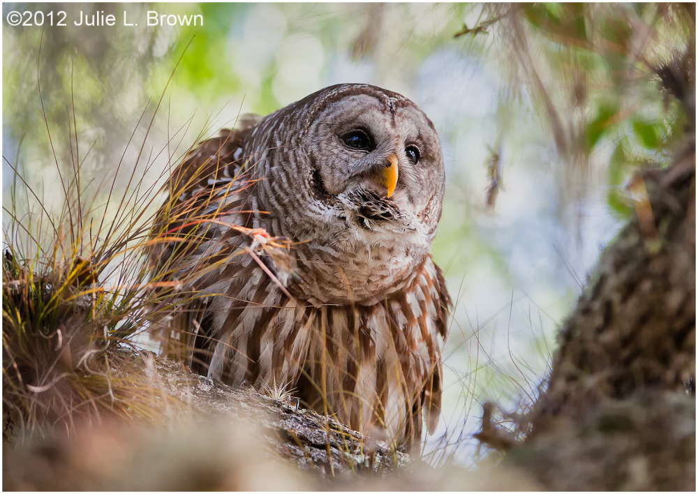 barred owl dinner island ranch hendry county