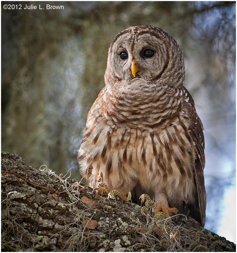 barred-owl dinner-island-ranch hendry-county