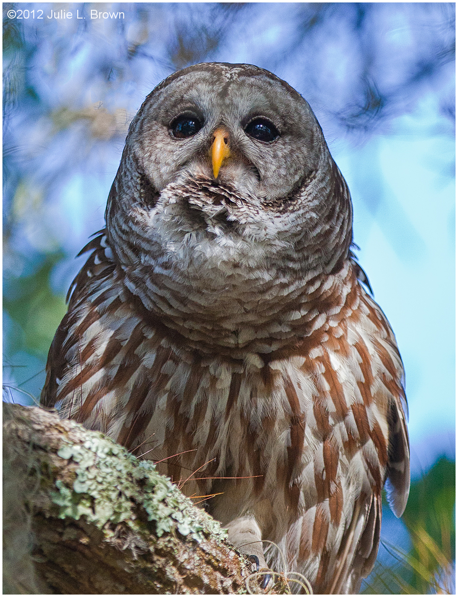 barred-owl strix-varia dinner-island-ranch