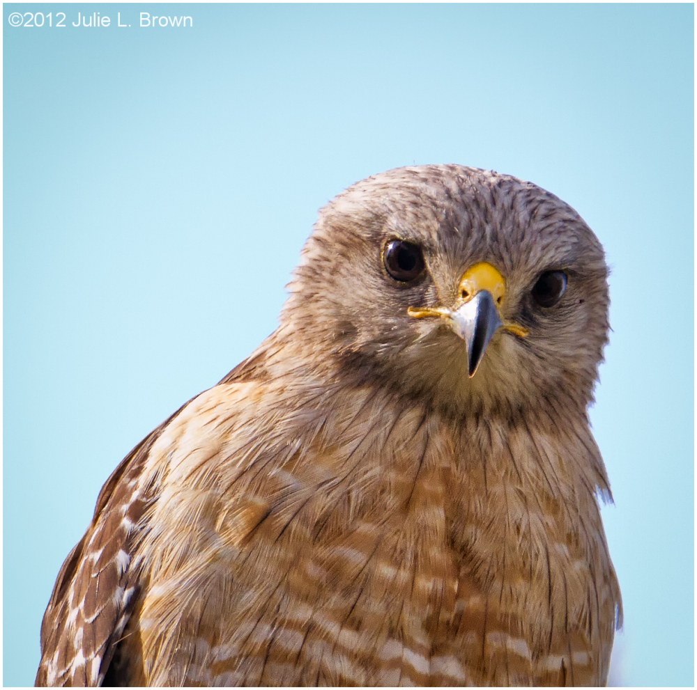 red-shouldered hawk hendry county florida