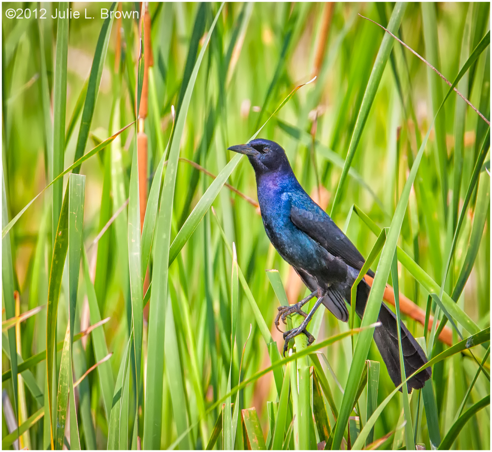boat-tailed-grackle-male hendry county florida