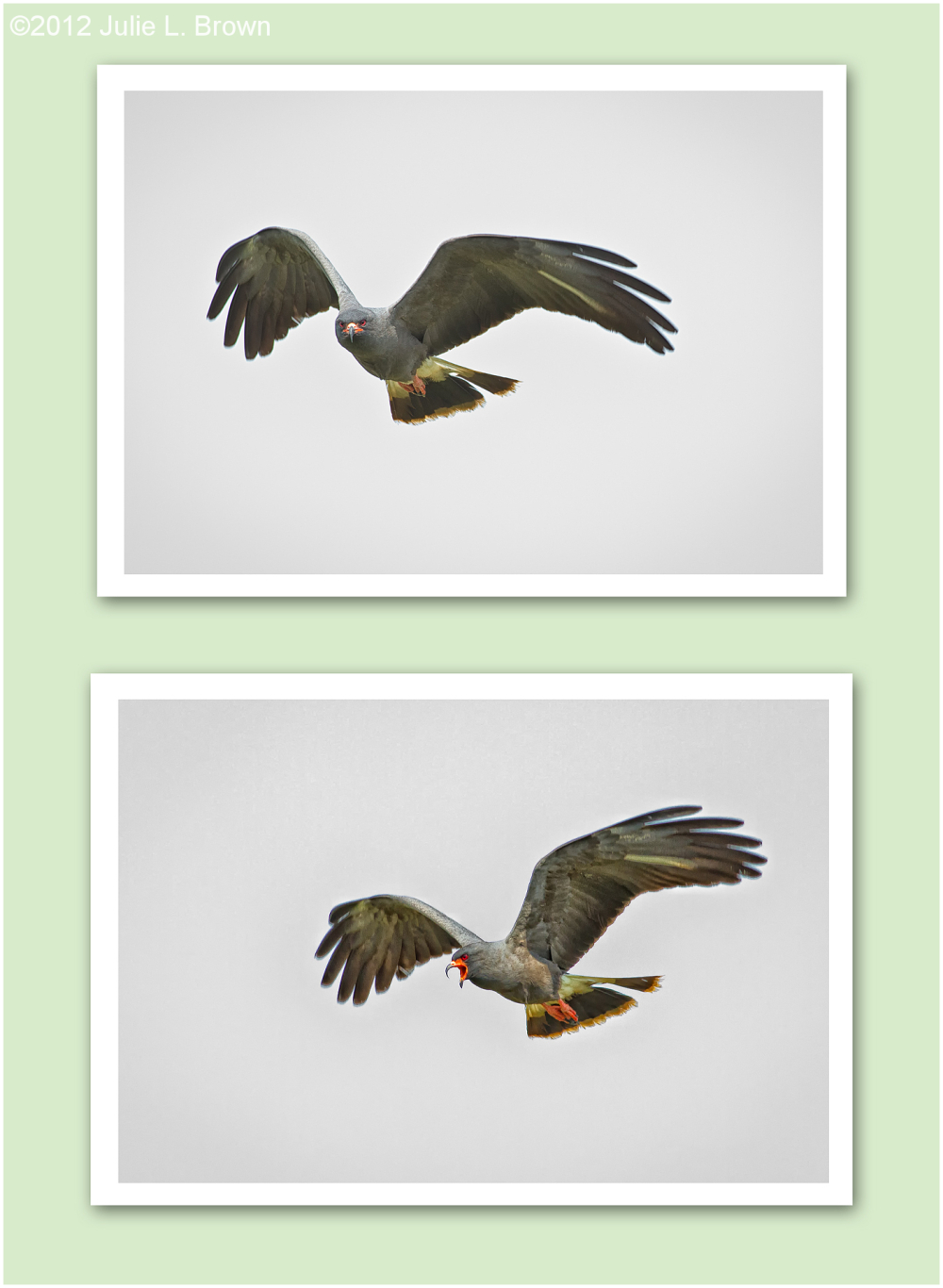 snail-kite-male-flight hendry-county florida
