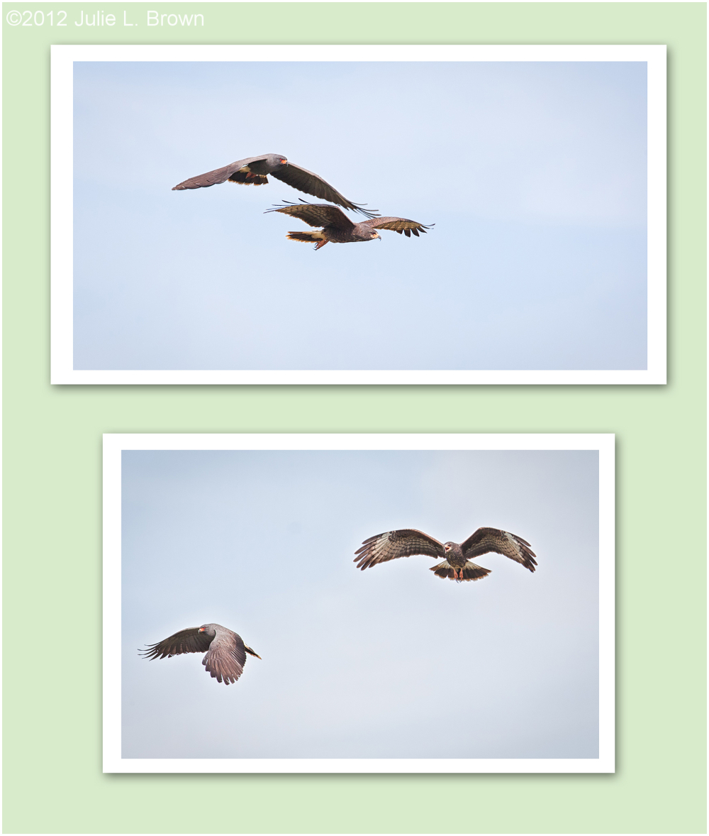 snail kite pair collage
