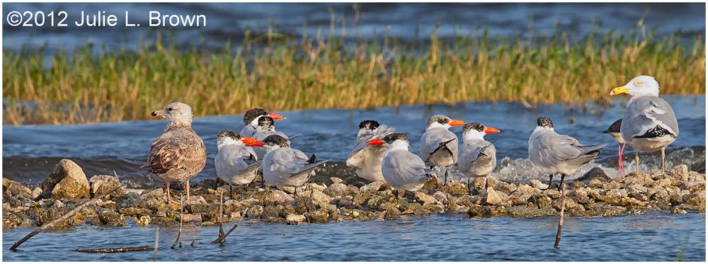 caspian terns and herring gulls lake okeechobee