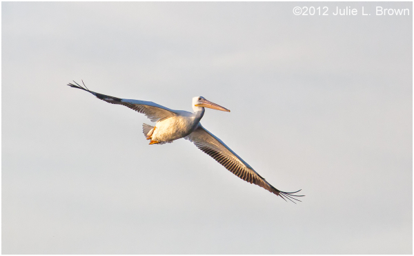 american white pelican flight lake okeechobee