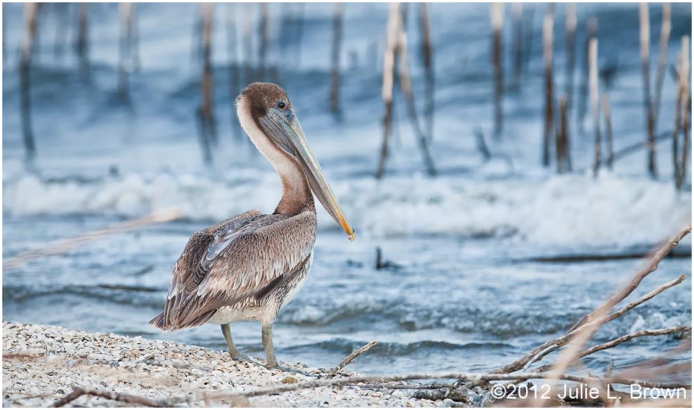 brown pelican second year juvenile lake okeechobee