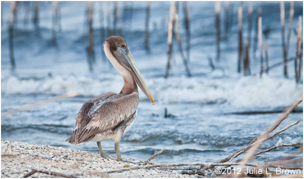 brown pelican second year juvenile lake okeechobee