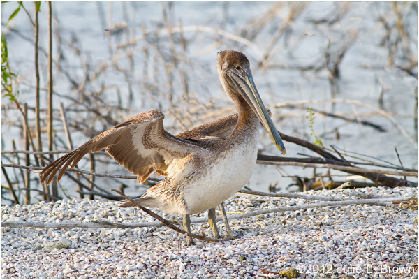brown pelican juvenile lake okeechobee florida