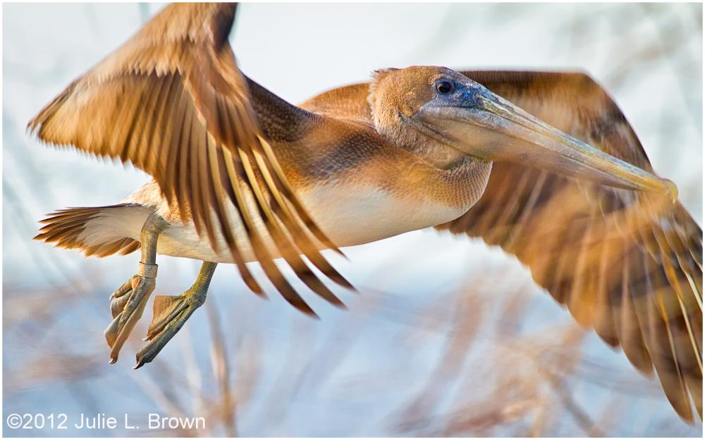 brown pelican juvenile in flight lake okeechobee