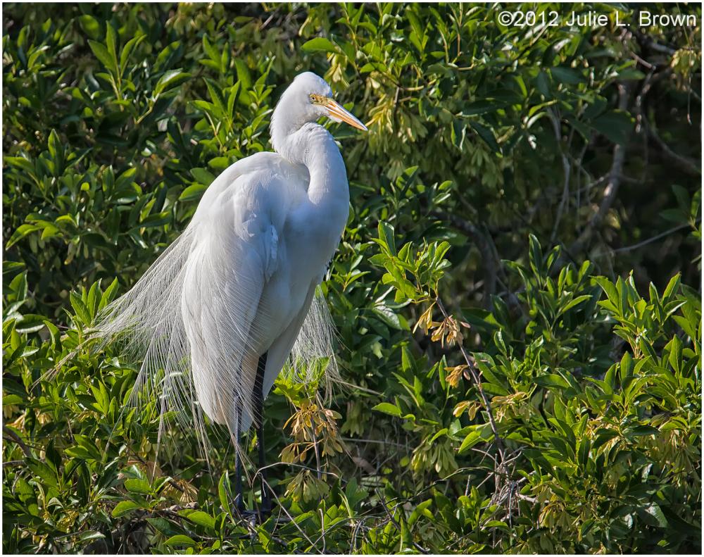 great egret breeding six mile cypress swamp
