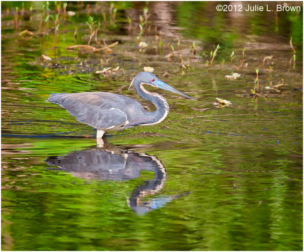 tricolored heron six mile cypress slough