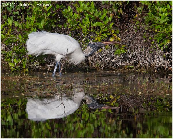 wood stork in pond six mile cypress slough