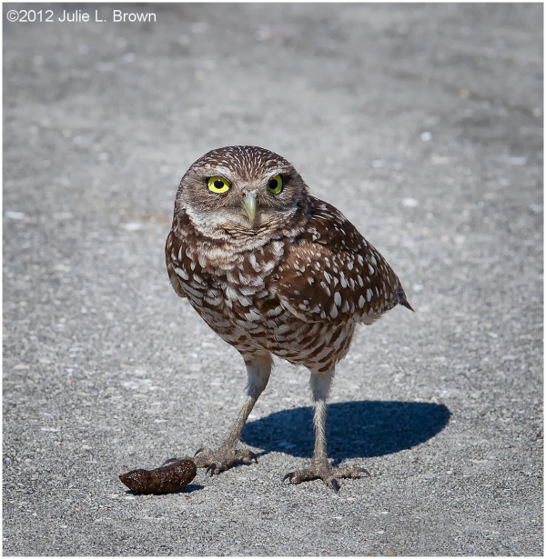 burrowing owl adult with owl pellet
