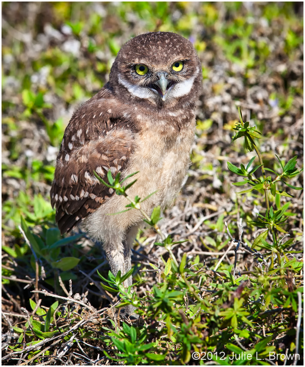 burrowing owl owlet cape coral florida