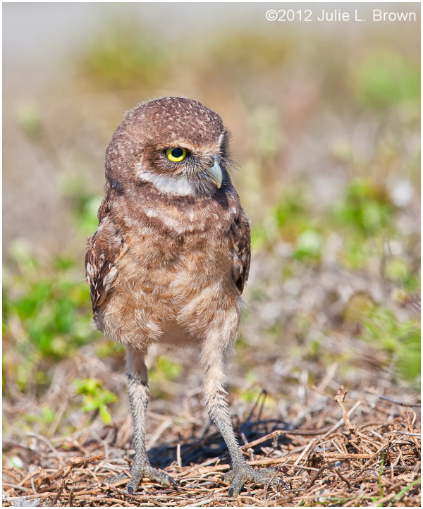 burrowing owl immature cape coral florida