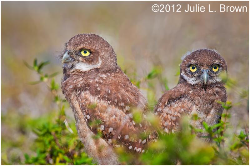 burrowing owl immature cape coral florida