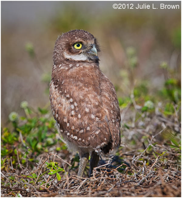 burrowing owlet cape coral florida