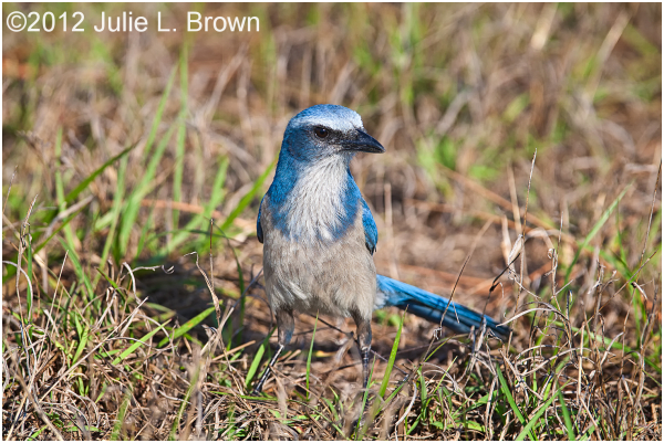 Florida scrub Jay in the grass