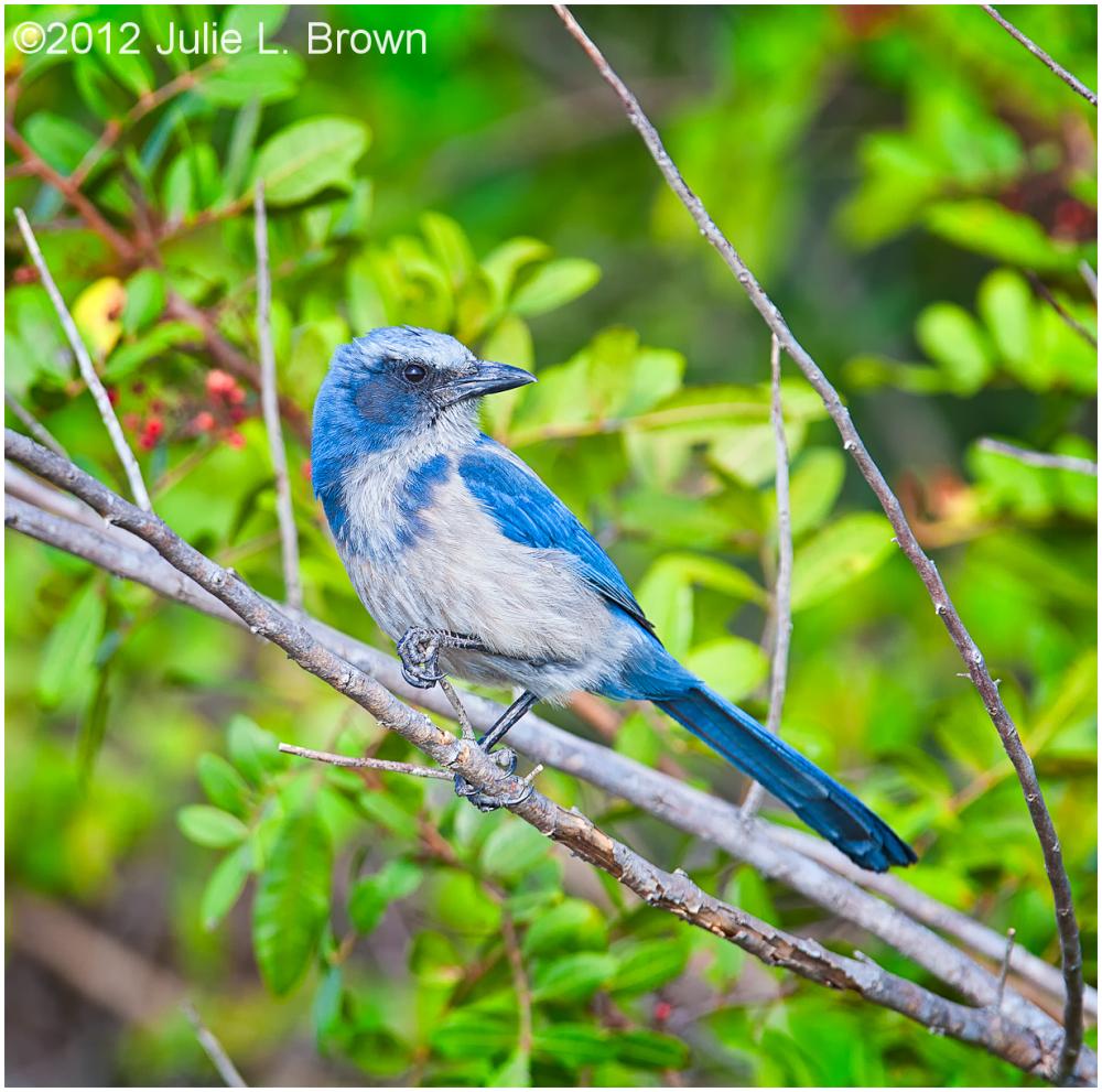 Florida Scrub Jay perched