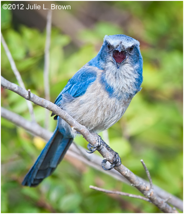Florida Scrub Jay, perched vocalizing