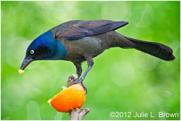 common grackle eating orange magee marsh ohio