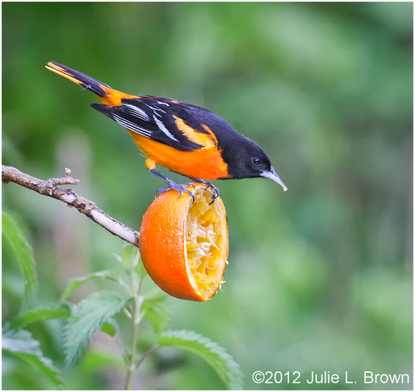 male baltimore oriole eating orange magee marsh