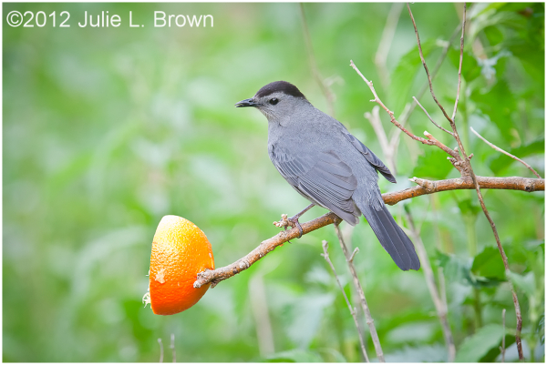 gray catbird with orange at magee marsh