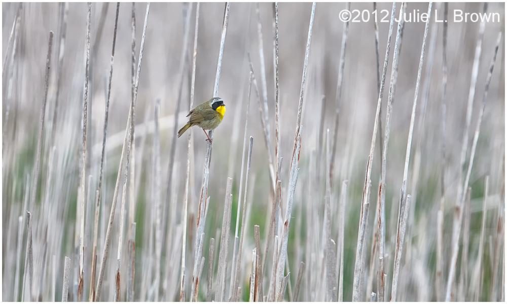 common yellowthroat marsh point pelee