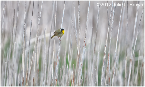 common yellowthroat marsh point pelee