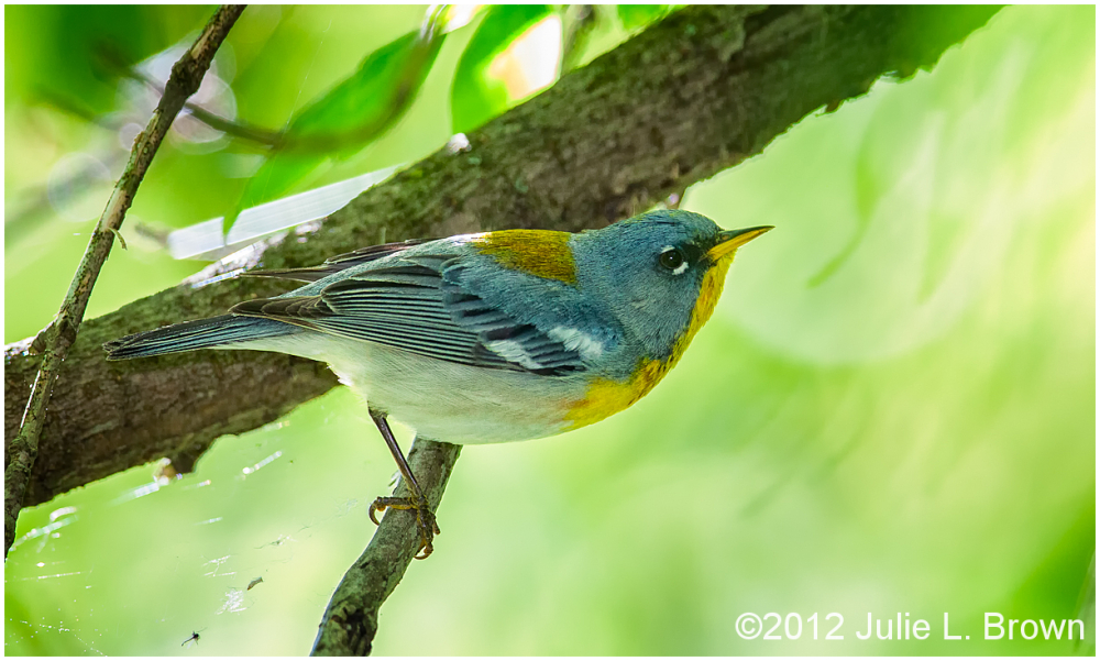male northern parula at magee marsh ohio