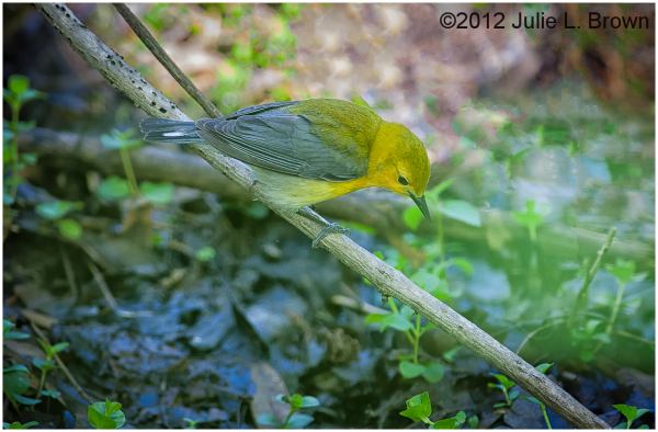 female prothonotary warbler magee marsh ohio