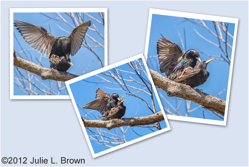 European Starlings mating magee marsh ohio