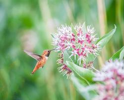 Rufous Hummingbird, male hovering at milkweed