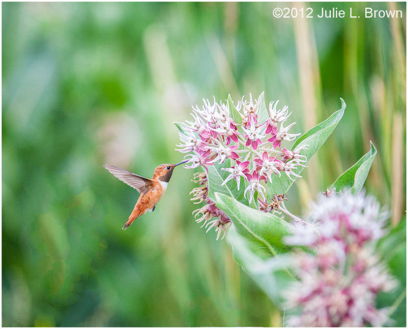 rufous-hummingbird milkweed ohio creek road
