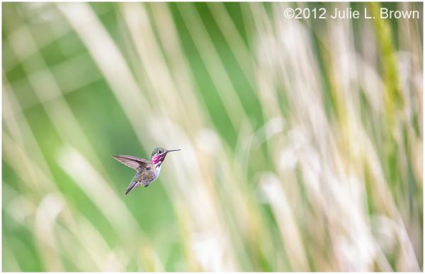 calliope hummingbird Stellula calliope milkweed