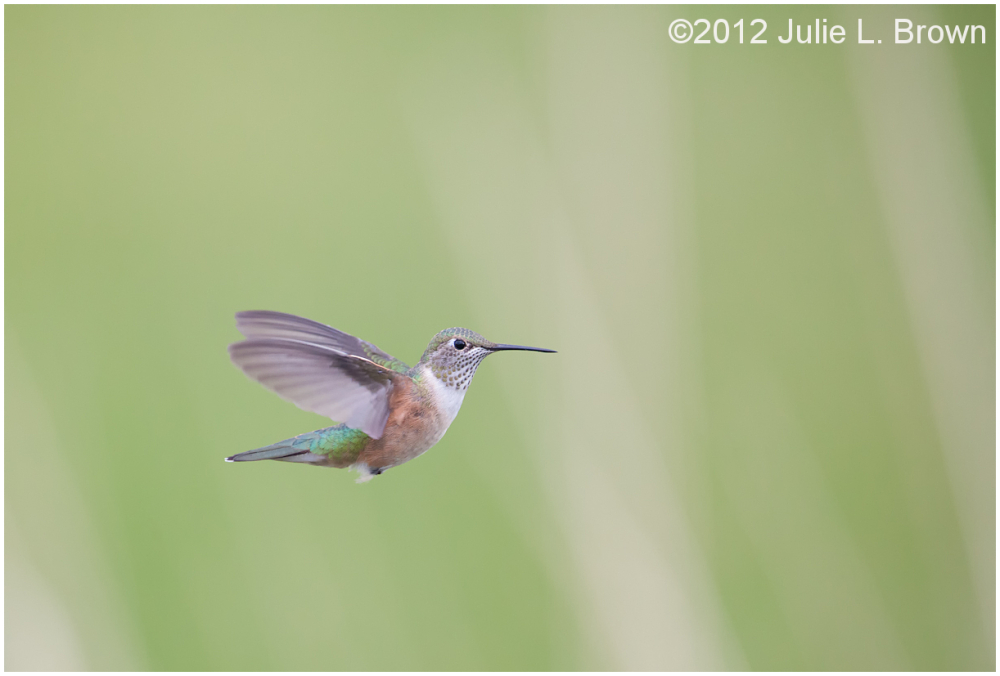 rufous hummingbird female hovering