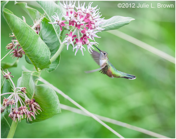 rufous hummingbird female hovering at milkweed