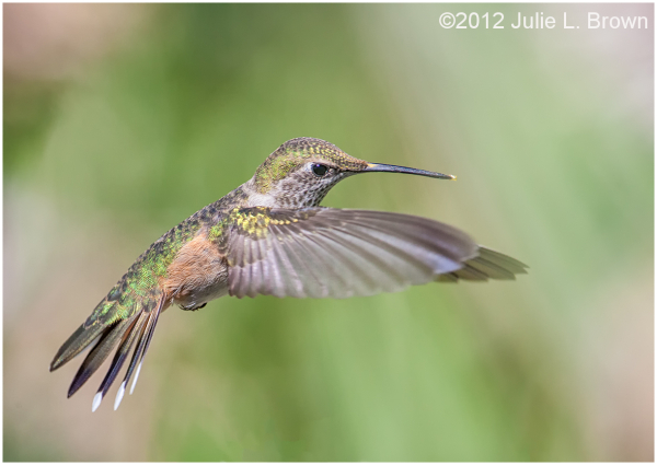 rufous hummingbird female wings forward