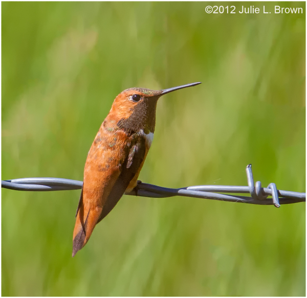 Rufous Hummingbird, adult male on barbed wire