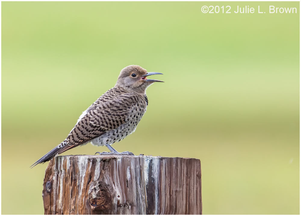 northern flicker red-shafted female
