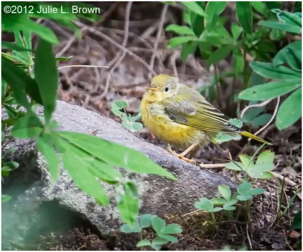yellow warbler female hatch year