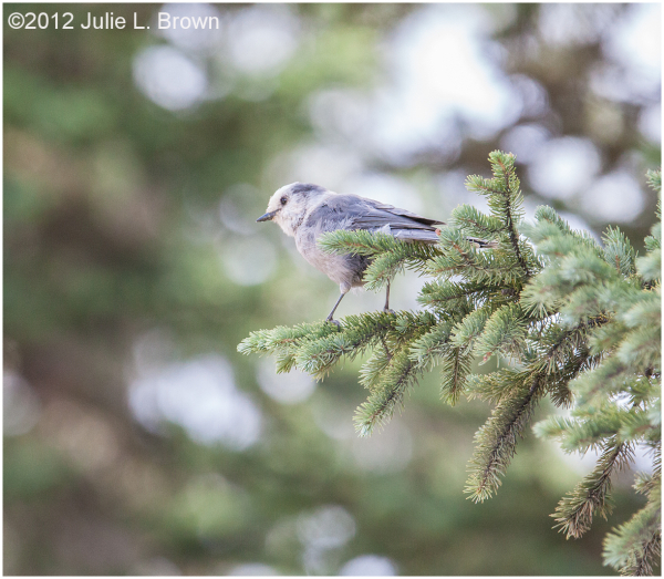 gray jay gunnison county colorado
